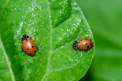 Red lady bug beetles feeding on a leaf Royalty Free Stock Photo