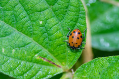 Red lady bug beetles feeding on a leaf Royalty Free Stock Images
