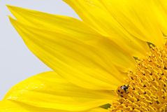 Red lady bug on blossoming sunflower Royalty Free Stock Photo