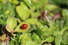 Red lady bug on a green suculent leaf in the garden Royalty Free Stock Photos