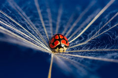 Red lady bug sit on a floating dandoline in bright blue Stock Photos
