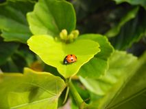 Lucky beetle - ladybug on a green leaf Royalty Free Stock Photos