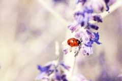 Red Lady Bug on White and Blue Flower Royalty Free Stock Images