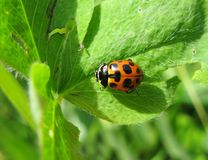 Red ladybird Royalty Free Stock Photo
