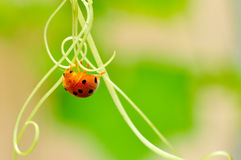 Red ladybird Stock Image