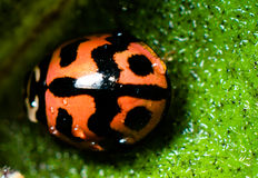 Red ladybird Stock Photography