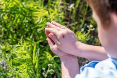 Red ladybird on baby hand on green grass background stock images