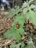 Lady bird beetle stock photography