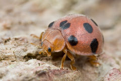 Red ladybird with black spots Royalty Free Stock Image