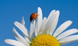 Red ladybird on chamomile petal Royalty Free Stock Photography