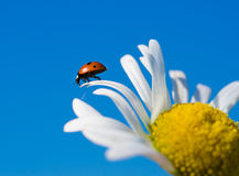Red ladybird on chamomile petal before fly. Selective focus Stock Photos