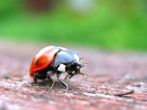 Red ladybird closeup on a wood Stock Photos