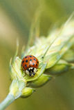 Red ladybird Stock Image