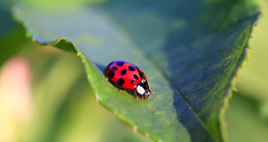 Red ladybird Royalty Free Stock Photography