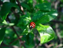 Red ladybird on a green leaf in the garden. Red ladybug on a green leaf in the garden on a sunny day Stock Images