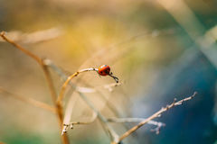 Red Ladybird, Ladybug, And Lady Beetle Or Coccinellidae Beetle Sitting On Dry Branch At Early Spring. Stock Photography