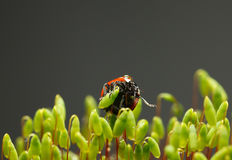 Red ladybird on moss capsules Stock Image