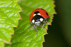 Red ladybird sits on green sheet Stock Photos