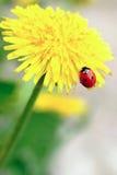 Red ladybird on yellow flower Stock Photos