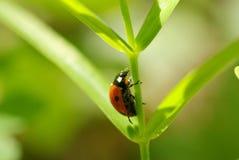 Red ladybug Stock Image