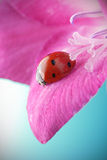 Red ladybug Royalty Free Stock Photography