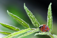 red ladybug Stock Photos