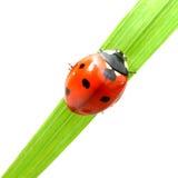 Red ladybug Royalty Free Stock Photos
