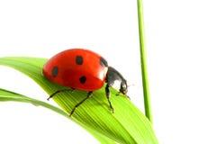 Red ladybug Stock Images