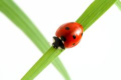 Red ladybug Stock Photography
