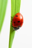 Red ladybug Royalty Free Stock Photos