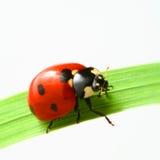 Red ladybug Royalty Free Stock Images