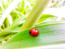 Red ladybug beetle looking so cute on green leaf of a plant. Stock Image