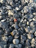 Red ladybug bug on gray blacktop gravel. A red ladybug with black dots crawling along a pile of dark colored blacktop road paving ground surface. Rough texture Stock Photos