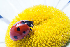 red ladybug on on camomile flower, stock image