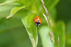 Red ladybug (Coccinella septempunctata). Red Ladybug on the leaf Royalty Free Stock Image
