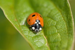 Red ladybug (Coccinella septempunctata). Red Ladybug on the leaf Royalty Free Stock Images