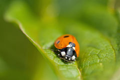Red ladybug (Coccinella septempunctata). Red Ladybug on the leaf Royalty Free Stock Photos