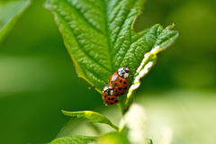 Red ladybug (Coccinella septempunctata). Red Ladybug on the leaf Stock Photography