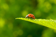 Red ladybug (Coccinella septempunctata) on leaf. Red ladybug (Coccinella septempunctata) on green leaf Stock Image