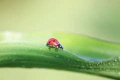 red ladybug crawling on a green leaf covered with dew drops Stock Image