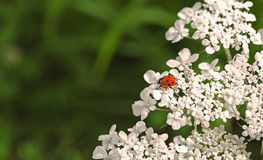 Red ladybug. A cute ladybug on a white flower Stock Images