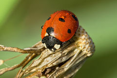 Red ladybug with dewdrops sitting on withered dandelion Royalty Free Stock Photography