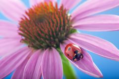 Red ladybug on Echinacea flower, ladybird creeps on stem of plan Royalty Free Stock Photography