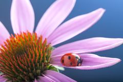 Red ladybug on Echinacea flower, ladybird creeps on stem of plan Stock Image
