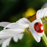 Red ladybug on flower petal Stock Photography