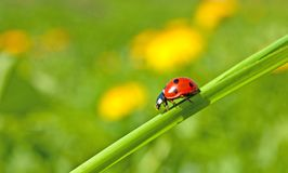 Red ladybug on green grass Royalty Free Stock Photography