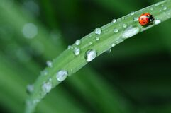 Red Ladybug in Green Grass Royalty Free Stock Image