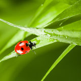 Red ladybug on green grass Stock Image