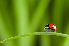 Red ladybug on green grass Royalty Free Stock Photos