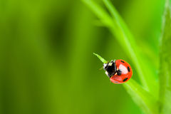 Red ladybug on green grass Royalty Free Stock Images